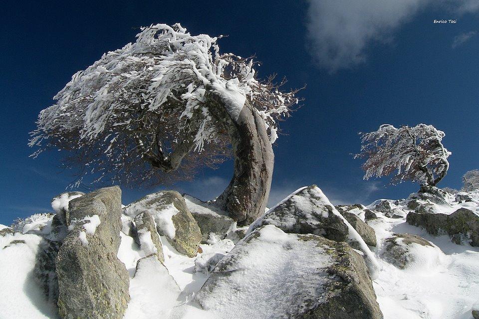 Faggi piegati dal violento vento di libeccio alla foce di San Pietro a circa 1400 mt di quota, prima neve, 9 novembre 2009